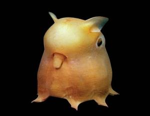 pieuvre dumbo2